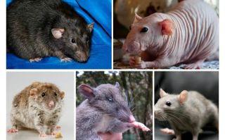 Spesies tikus