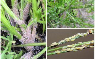 Bagaimana untuk menghilangkan aphids pada lobak merah