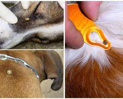 Gigit gigitan anjing - gejala, kesan dan rawatan di rumah
