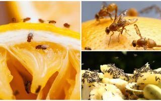 Bagaimana untuk menghilangkan lalat buah-buahan di kedai dapur dan ubat-ubatan rakyat