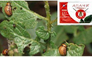 Bagaimana untuk membiakkan Apaches dari kumbang kentang Colorado