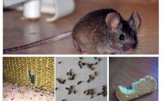 Bagaimana untuk menangani tikus di apartmen