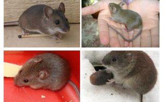 Tikus rumah