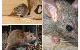Boleh tikus menyerang manusia