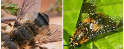 Perbezaan antara gadfly dan buta