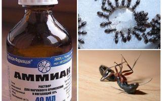Ammonia daripada semut dan aphids
