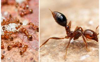 Bagaimana untuk menghilangkan semut merah kecil di sebuah apartmen