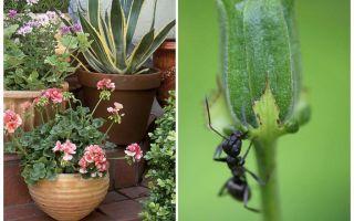 Bagaimana untuk menghilangkan semut dari periuk bunga