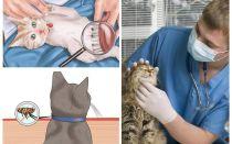 Bagaimana untuk menghilangkan kutu dalam kucing atau kucing di rumah