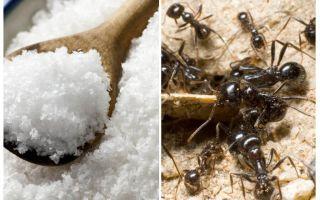 Garam terhadap semut di taman