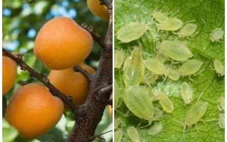 Bagaimana untuk menghilangkan aphids pada aprikot