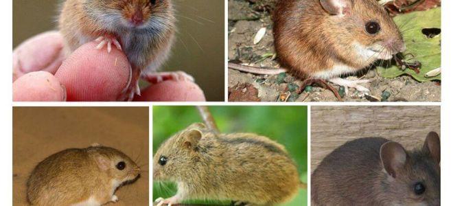 Jenis dan jenis tikus