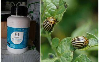 Ubat untuk kumbang kentang Colorado Boreas