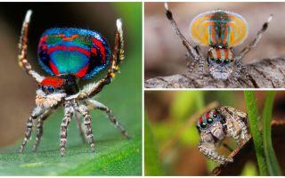 Penerangan dan gambar labah-labah merak