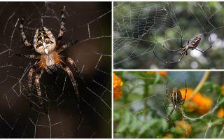 Adakah labah-labah tahu bagaimana untuk terbang