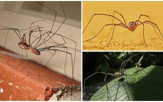 Spider mengorek dengan kaki panjang nipis