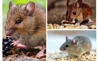 Apa tikus makan