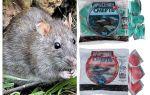 Kematian tikus racun