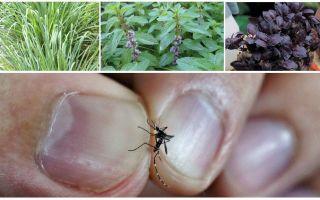 Apa tanaman menahan nyamuk: rumput, pokok dan bunga