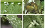 Kaedah untuk berurusan dengan whitefly pada tomato di rumah hijau