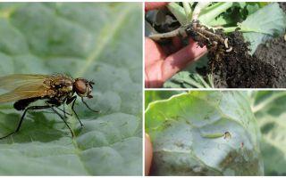 Bagaimana menangani lalat kubis dan larvanya