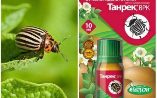 Alat Tanrek dari kumbang kentang Colorado