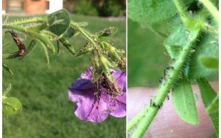 Bagaimana untuk menangani aphids pada petunia dan cara membeli-belah