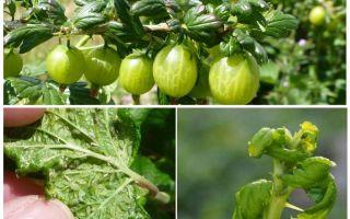 Bagaimana untuk menghilangkan aphids pada gooseberry