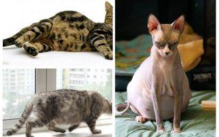 Bagaimana untuk menghapus kutu dari kucing yang hamil