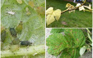 Bagaimana untuk menghilangkan aphids pada raspberi
