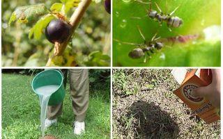 Bagaimana untuk menangani semut dan aphids pada currants