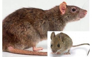 Apakah perbezaan antara tetikus dan tikus?