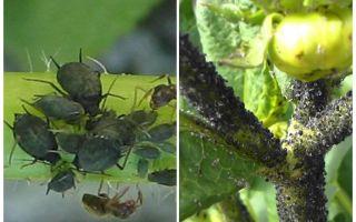 Bagaimana untuk menangani aphids hitam pada tomato dan timun