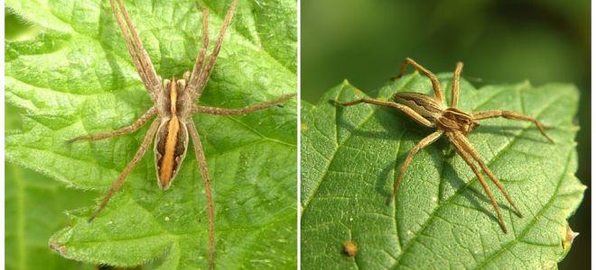 Penerangan dan gambar labah-labah rantau Saratov
