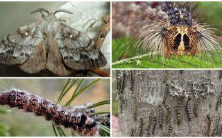 Penerangan dan gambar ulat dan kupu-kupu ulat siberia Siberia