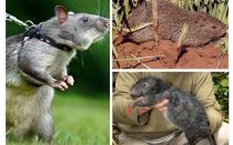 Tikus terbesar di dunia