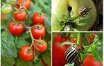Bagaimana untuk memproses tomato dari kumbang kentang Colorado