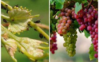Bagaimana menangani aphids pada kaum anggur dan cara membeli-belah