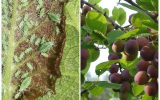 Bagaimana dan bagaimana untuk memproses aphid pada plum