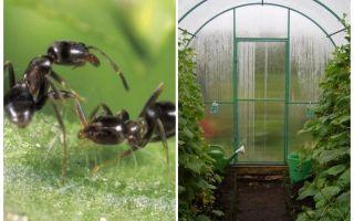 Bagaimana untuk menangani semut dalam ubat-ubatan rumah hijau