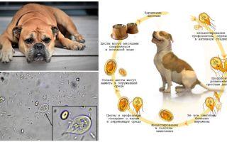 Gejala dan rawatan Giardia pada anjing