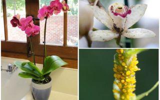 Bagaimana untuk menangani aphids pada orkid