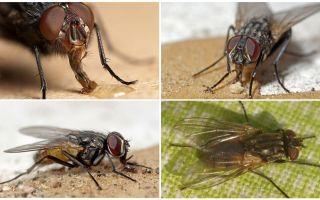 Lalat jangka hayat