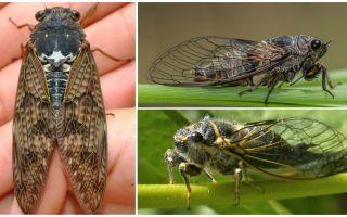 Penerangan dan gambar lalat cicada