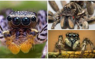 Berapa banyak mata yang ada labah-labah?