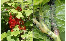 Bagaimana untuk menghilangkan aphids pada currants