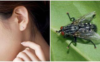 Bagaimana untuk mendapatkan lalat dari telinga anda di rumah