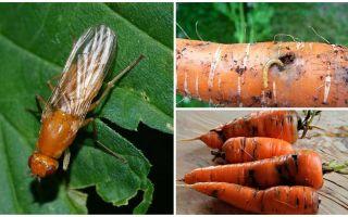 Bagaimana untuk menghilangkan lalat lobak merah