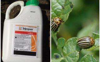 Cara Euforia dari kumbang kentang Colorado