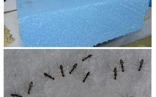 Semut, penopleks dan buih